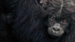 Gorillas im Kongo  gefährdet
