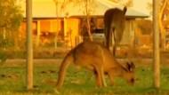 Dürre treibt Kängurus in Ortschaft