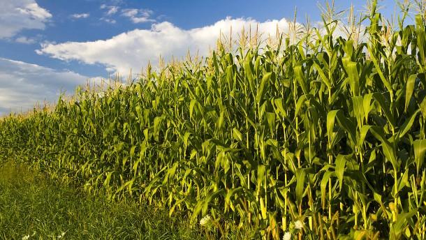Mehr Mais geht nicht