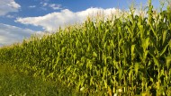 2,6 Millionen Hektar Mais gibt es in Deutschland –  eine Fläche, zehnmal so groß wie das Saarland.