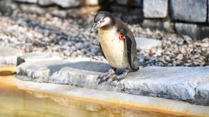 Vermisster Pinguin tot in Mannheim gefunden