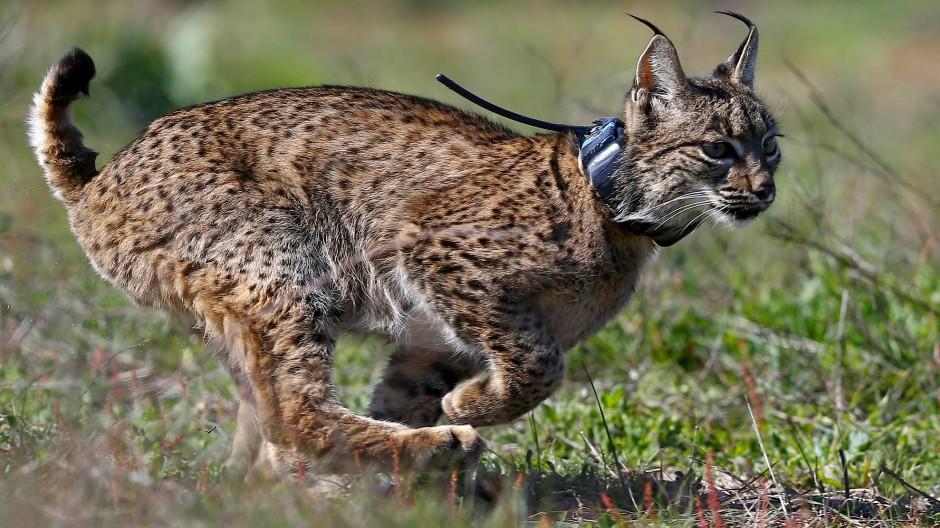 Seltene Tiere wie der Iberische Luchs sind noch im Nationalpark Coto de Doñana zu finden.