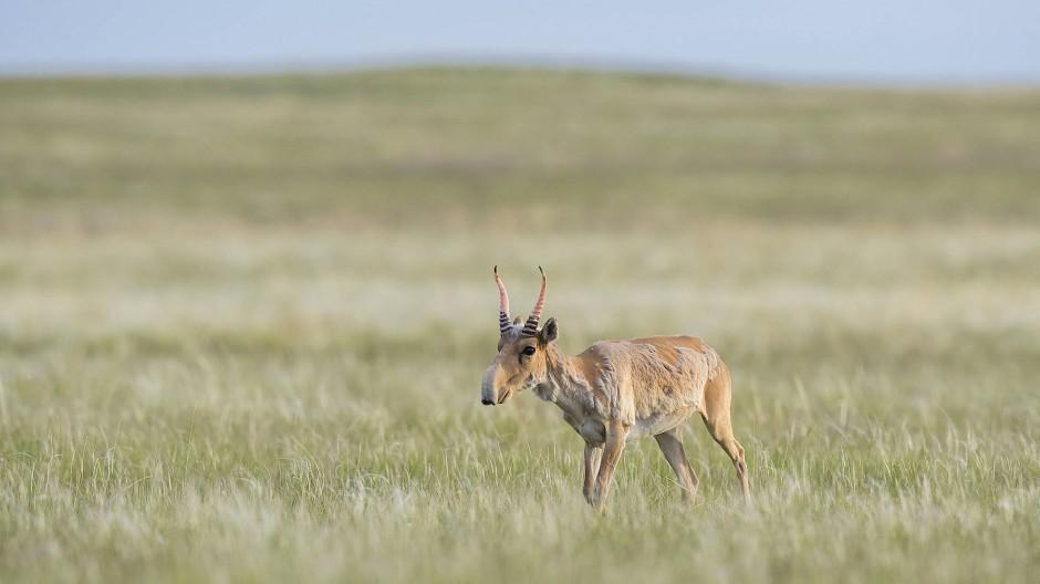 Aufgrund ihrer Hörner werden Saiga-Antilopen in der kasaschischen Steppe gejagt.
