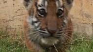 Sibirische Tiger-Babys erobern Herzen