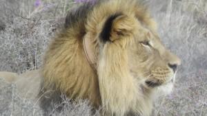 Jetzt ist er wieder ein glücklicher Löwe