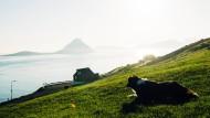 Unwirtliche Umgebung: Føroyar Shepherd Dog Scott auf der Insel Vágar