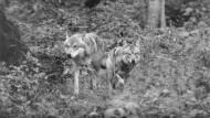Auf dem ersten Bild, das Carl-Albrecht von Treuenfels 1973 in der F.A.Z. veröffentlichte, nähern sich Wölfe.