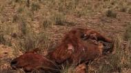 Dürre macht Rinderzüchtern zu schaffen