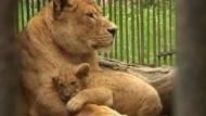 Kleiner Löwe ganz groß
