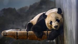 Panda zieht zurück nach China