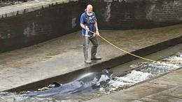 Verletzter Wal aus Themse-Schleuse befreit