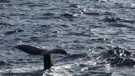Wal-Schauspiel nördlich des Polarkreises