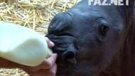 Nashorn-Nachwuchs verzaubert Münsteraner