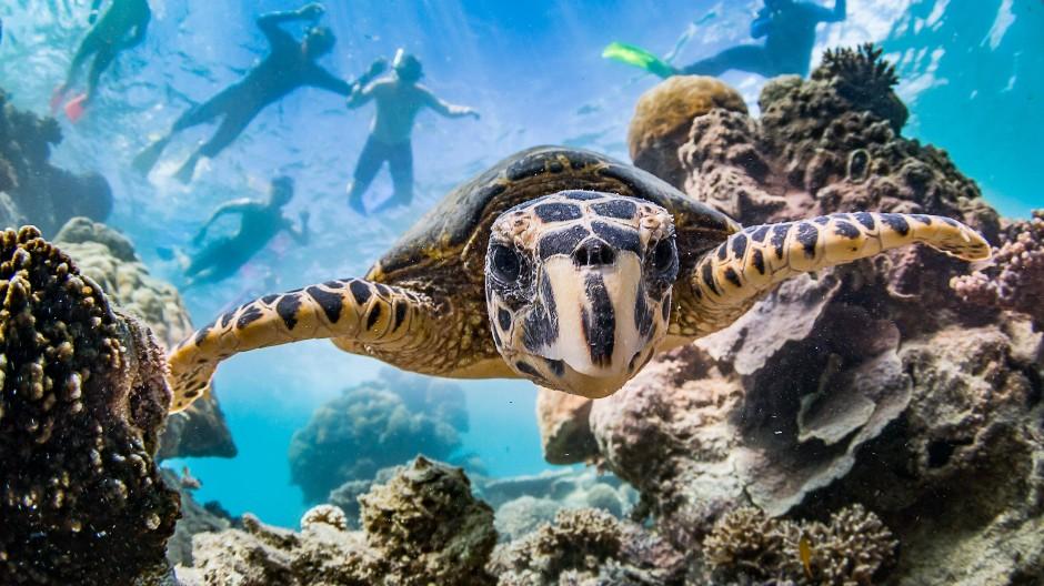 Eine Schildkröte taucht am von der UNESCO zum Weltnaturerbe erklärten Ningaloo-Riff. Über dem Tier schnorcheln Touristen.