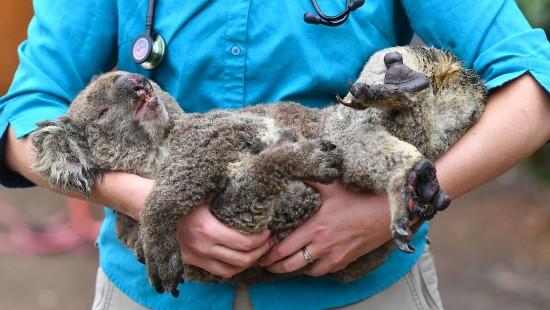 Koalas sollen nach Neuseeland