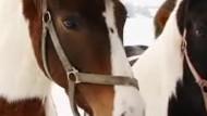 Die Pferdeseuche