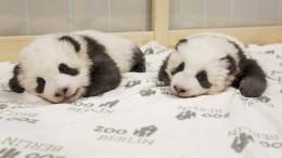 So klingen Panda-Babys