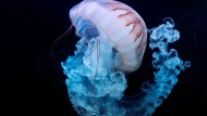 Quellen sind nicht die schnellsten, dafür aber die effektivsten Tiere im Ozean.
