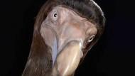 Zu zutraulich für diese Welt: Rekonstruktion eines ausgestorbenen Dodos.