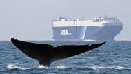 Die Fluke eines Blauwals, der nahe der kalifornischen Küste schwimmt.
