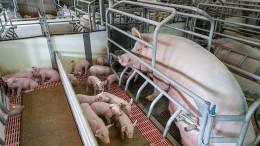 Notruf aus dem Schweinestall
