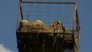 Hubschrauber rettet Schafe aus Fluten