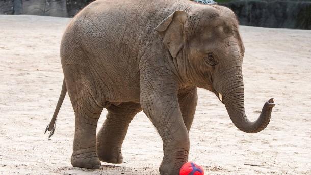 Elefant orakelt Frankreich-Sieg