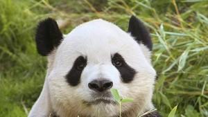 Zwangs-Schwangerschaft für den Panda