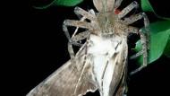 Neue Arten entdeckt: Spinne Greta bekommt Gesellschaft
