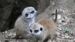 Erdmännchen-Nachwuchs im Opel-Zoo