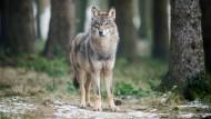 Ein Wolf steht in einem Gehege des Biotopwildpark Anholter Schweiz.