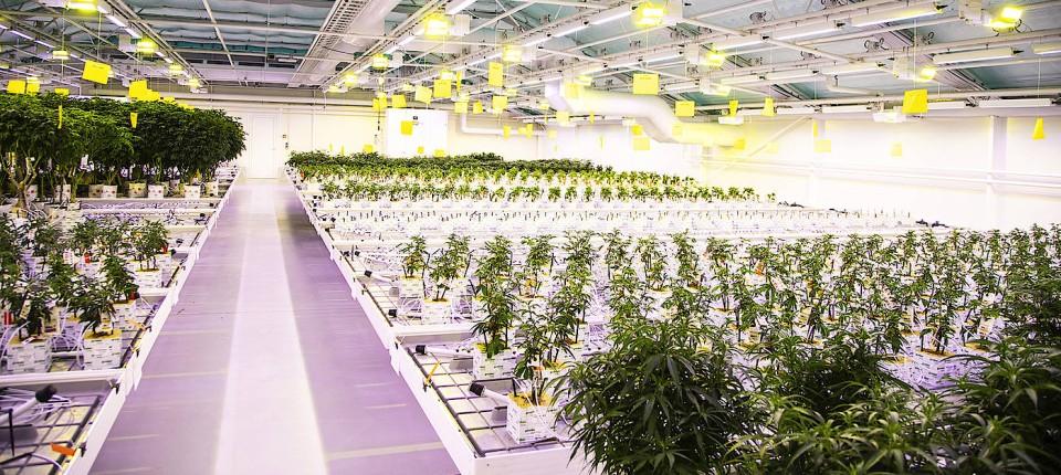 Hoffnung für Schmerzpatienten: Cannabisplantage der Firma Vertanical in Dänemark
