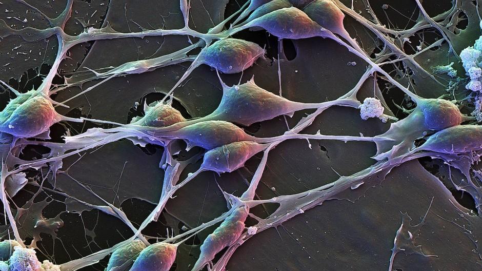 Gut vernetzt: Nervenzellen (vorne) und Gliazellen (hinten) kommunizieren miteinander.