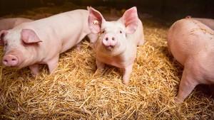 Schwein sein dürfen