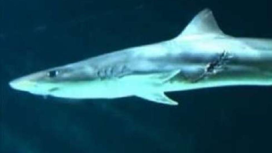 Rabiater Hai leistet Geburtshilfe