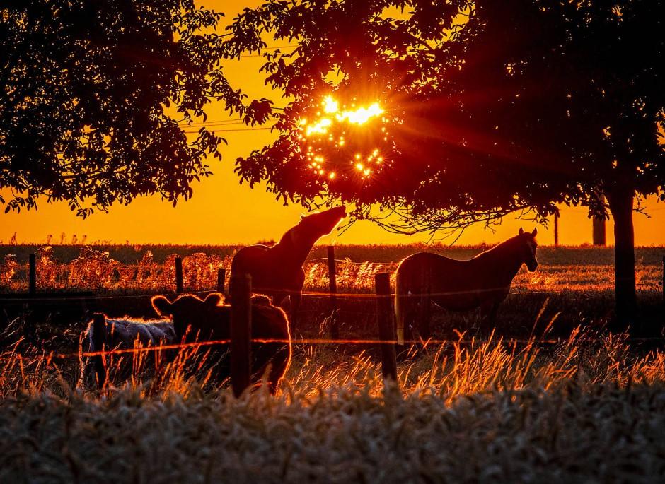 Auch schon wach: Pferde und Kühe stehen auf einer Koppel am Stadtrand von Frankfurt während des Sonnenaufgangs.