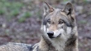 Wölfe aus Wildgehege entflohen