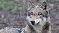 Eine seiner Artgenossinnen hat sich im unterfränkischen Landkreis Rhön-Grabfeld und damit unweit der Landesgrenze zu Hessen niedergelassen: Wolf