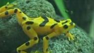 Hilfe für den Goldfrosch