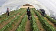 Erntehelfer auf Suche nach Unkraut: Die Erdbeerfelder müssen jetzt vorbereitet werden.