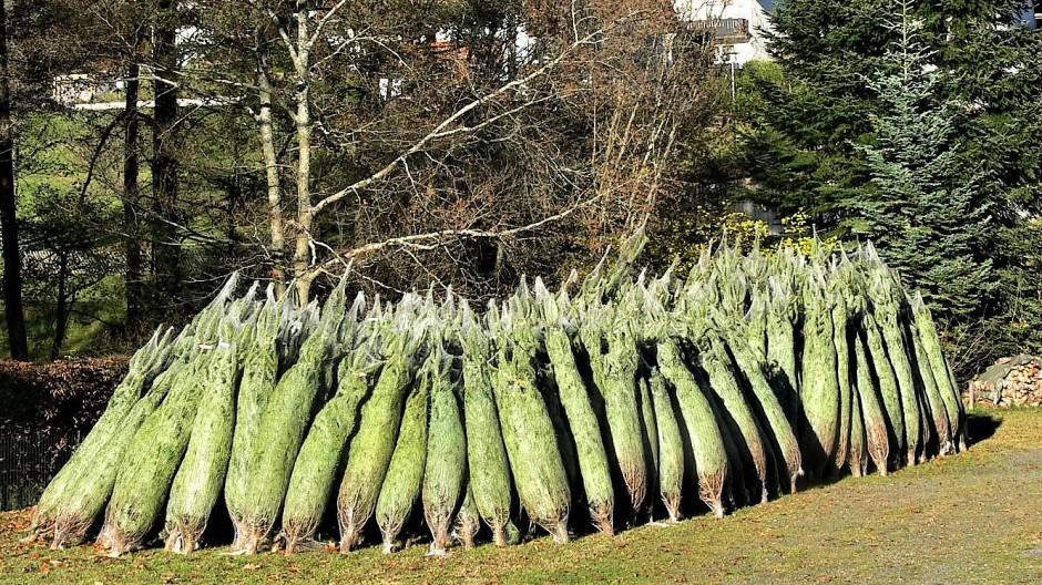 Weihnachtsbäume, wohin man blickt. Traditionell werden in Kempfenbrunn an jeder Ecke und selbst in Privatgärten Fichten und Tannen gezogen.