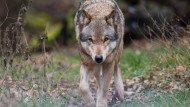 Intelligenzbestie: Ein Wolf kann so manchen Zaun mühelos überwinden.