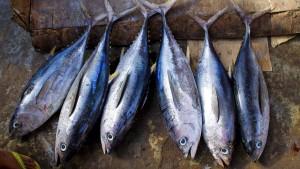 Kommt der Thunfisch bald aus der Nordsee?