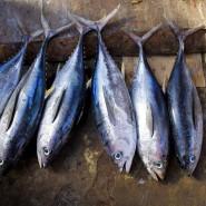 Thunfisch könnte demnächst in der Nordsee kommerziell befischt werden, stellt der Fischereiverband in Aussicht.