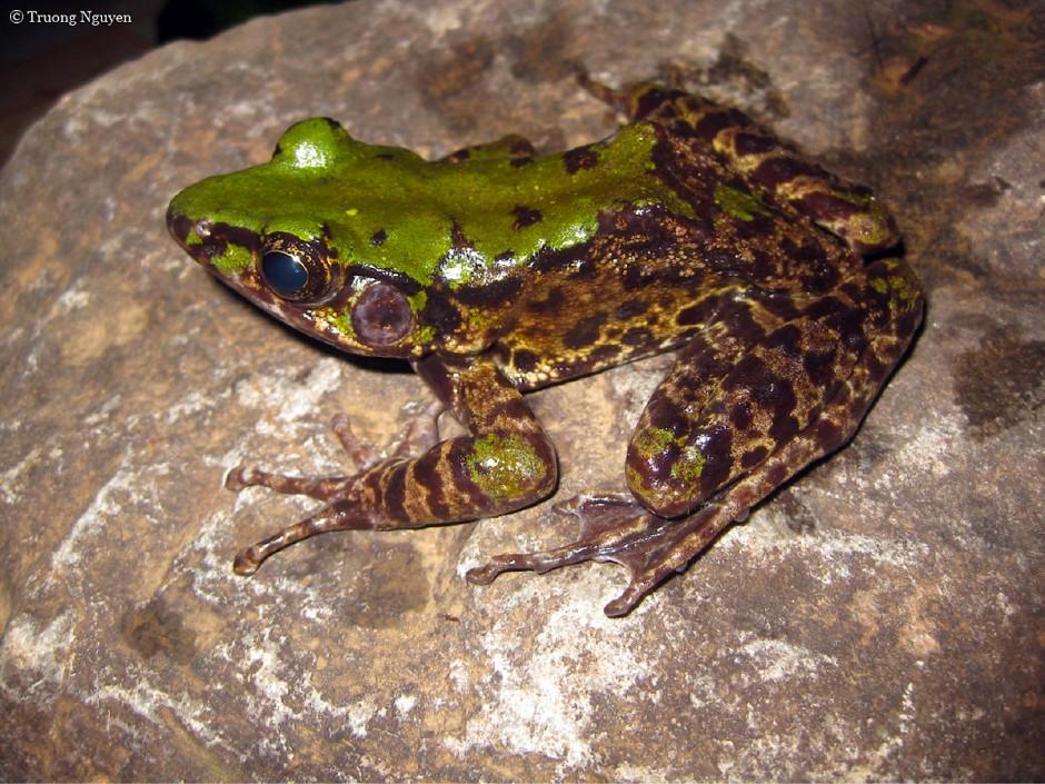 Grün-braun gefärbter Frosch (Odorrana mutschmanni)