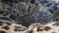 Seltener Nachwuchs bei Amur-Leoparden