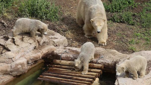 Eisbären-Drillinge erkunden erstmals Gehege