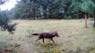 Zurück in Deutschland: Aufnahme eines Wolfes in Sachsen