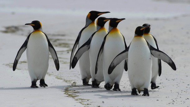 Putzige Pinguine erfreuen Touristen