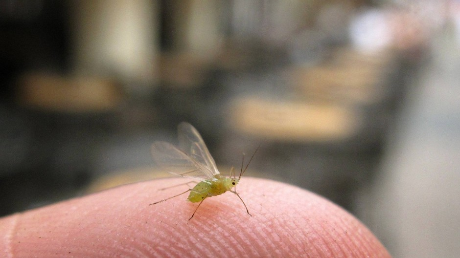 Einzeln ganz niedlich: die Blattlaus